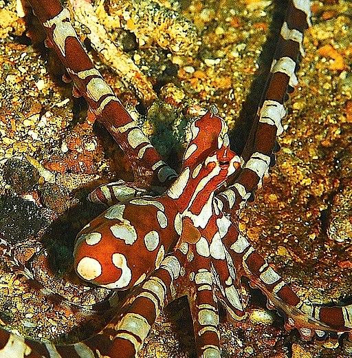 Wonder octopus