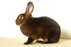English: rex rabbit Nederlands: Rex konijn castor