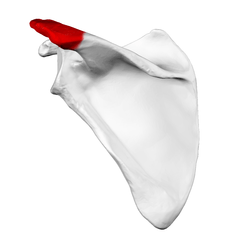Acromion of left scapula01.png