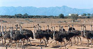 Straussenfarmen in Südafrika, Oudtshoorn