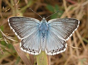 English: Chalk Hill Blue, Sheffield Park. An u...