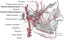 Precerebral artery WikiVisually