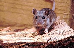 Deer mouse, Peromyscus maniculatus 8360 lores