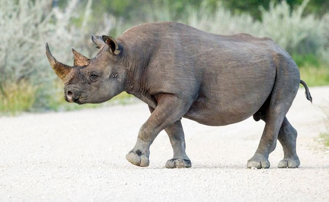 Black Rhinoceros Wikipedia