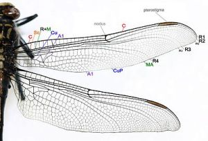 External morphology of Odonata  Wikipedia