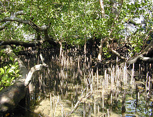 Mangrove (Sonneratia ?alba) trees and pneumato...