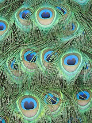 English: Peacock feathers. Belonging to a resi...