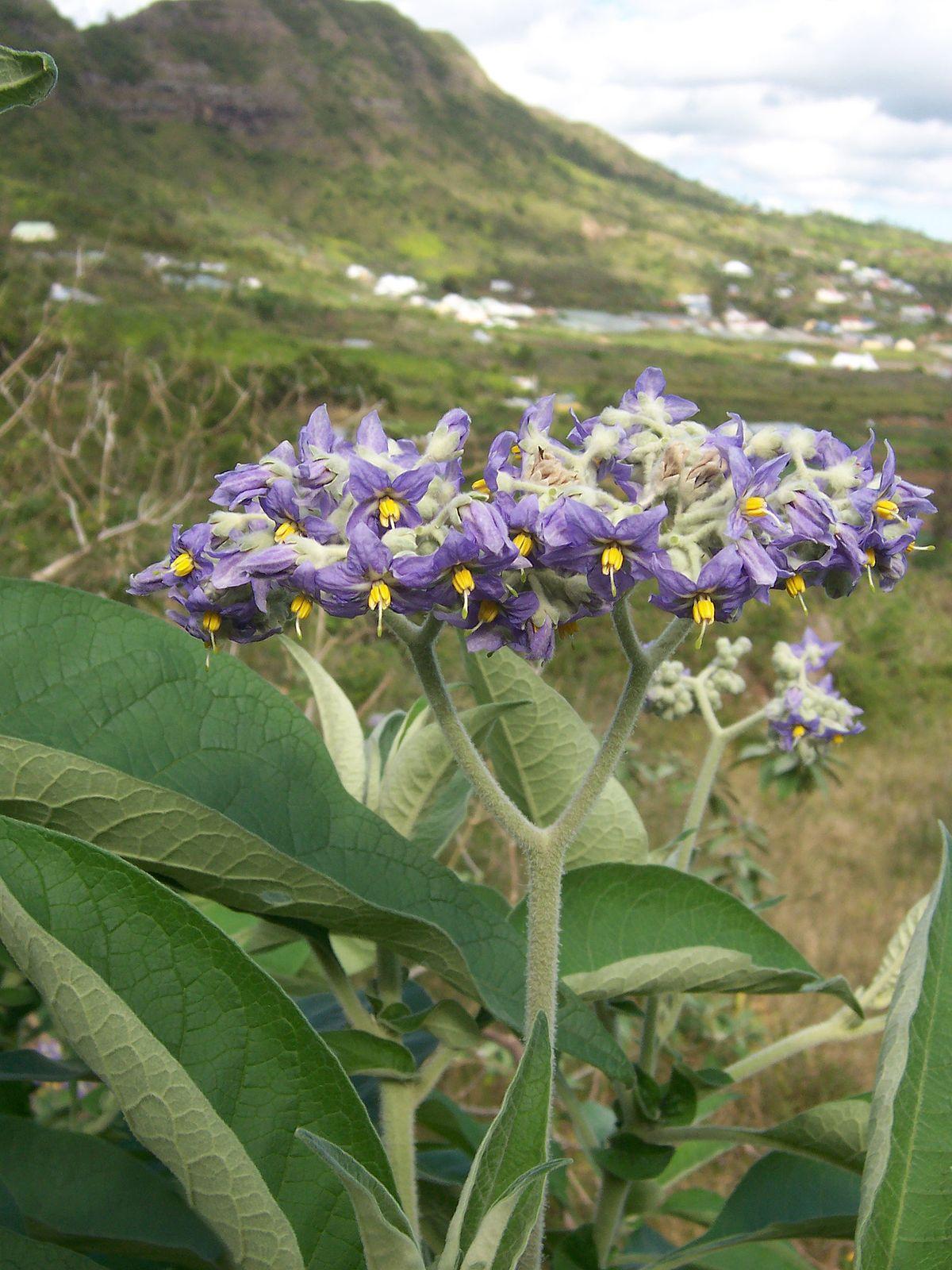 Solanum mauritianum  Wikipedia la enciclopedia libre