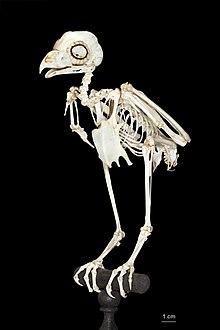 squelette des oiseaux wikipedia