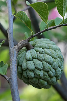 Sugar apple on tree.jpg