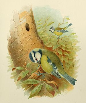 English: An illustration of Blue Tits by Henri...