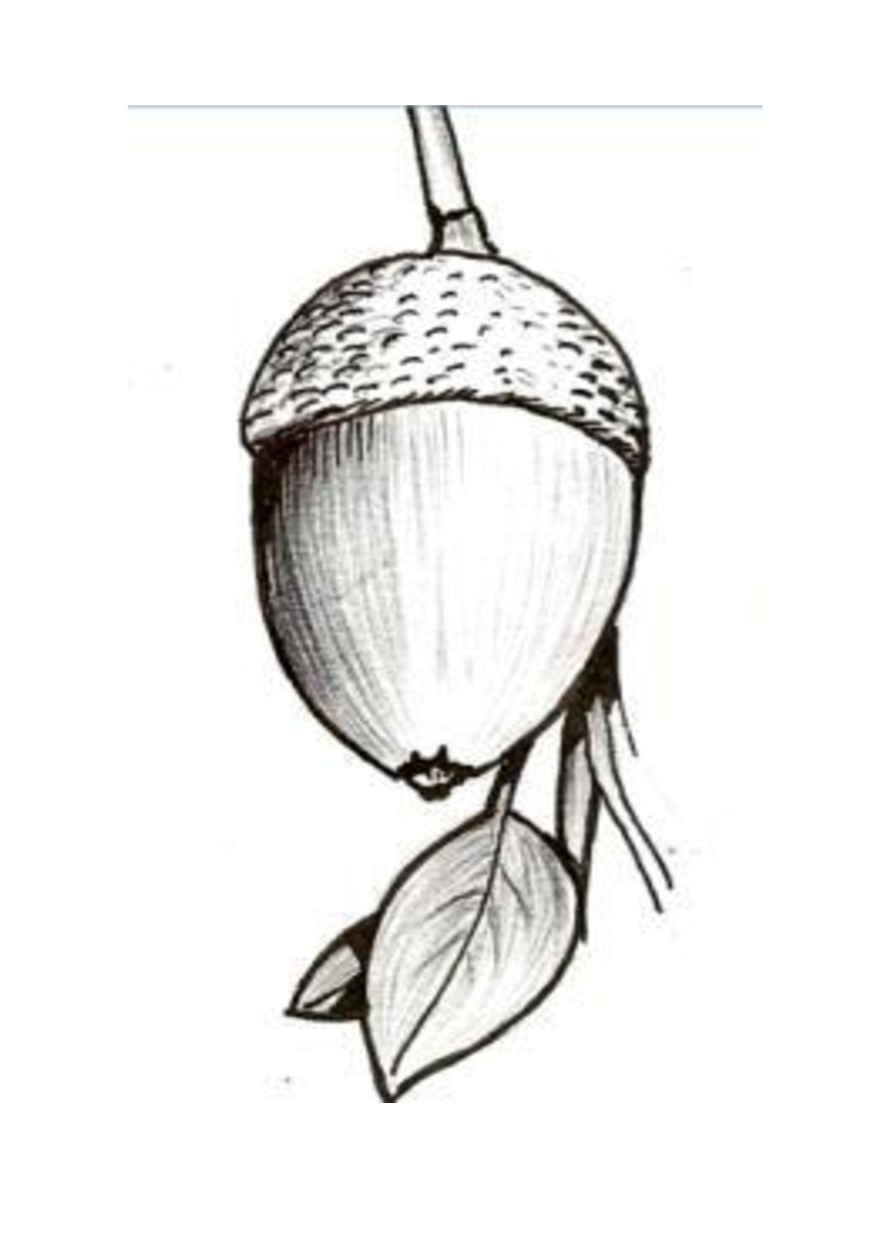 Ficheiro:Bolota, fruto do carvalho. Suas sementes serviam