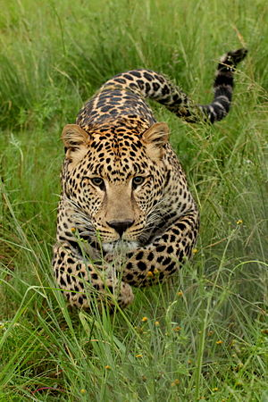 Young leopard charging. Photo taken at Rhino a...