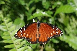 English: Soldier butterfly seen in Secret Wood...
