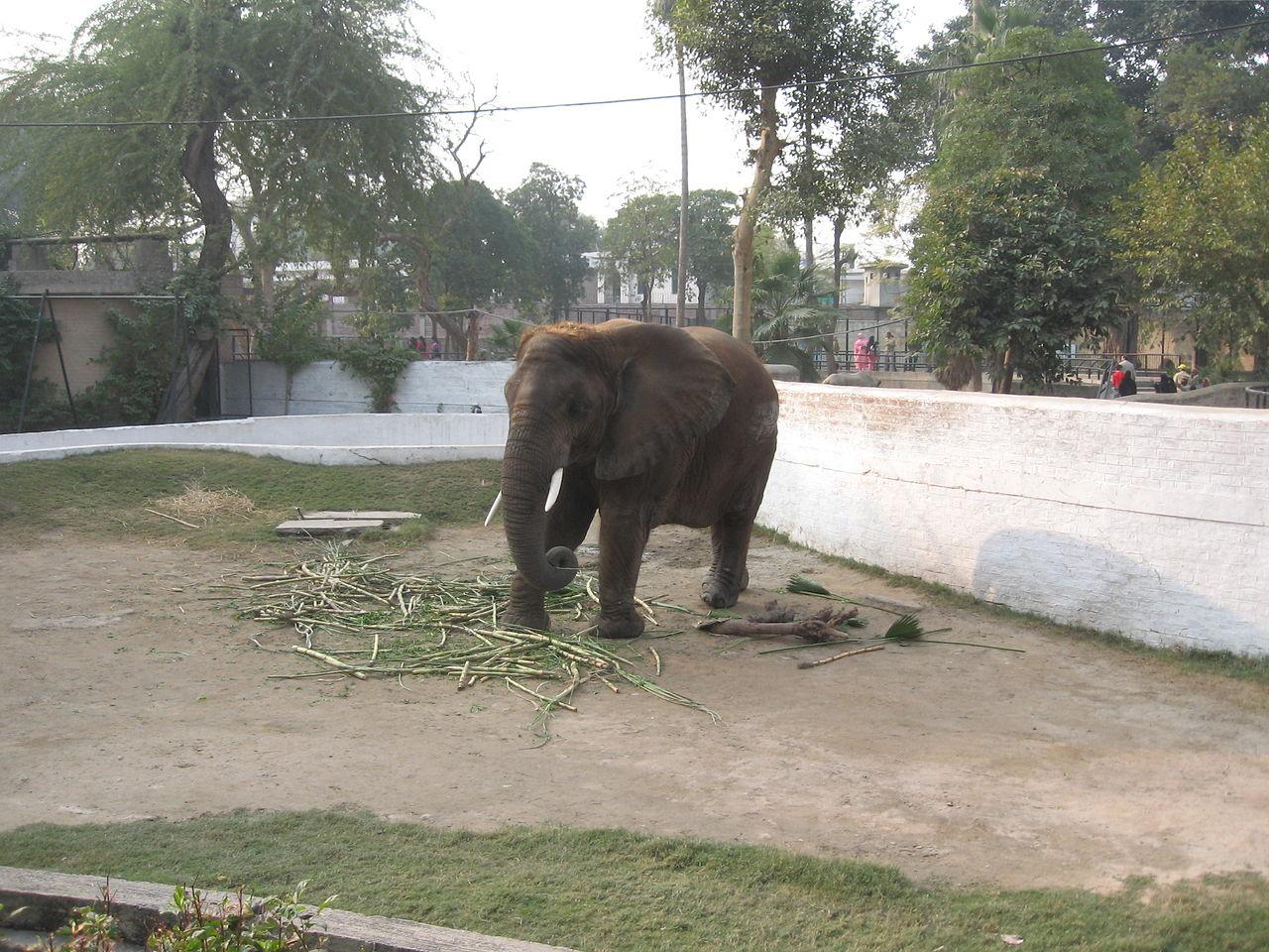FileElephant Lahore Zoo Pakistanjpg  Wikimedia Commons