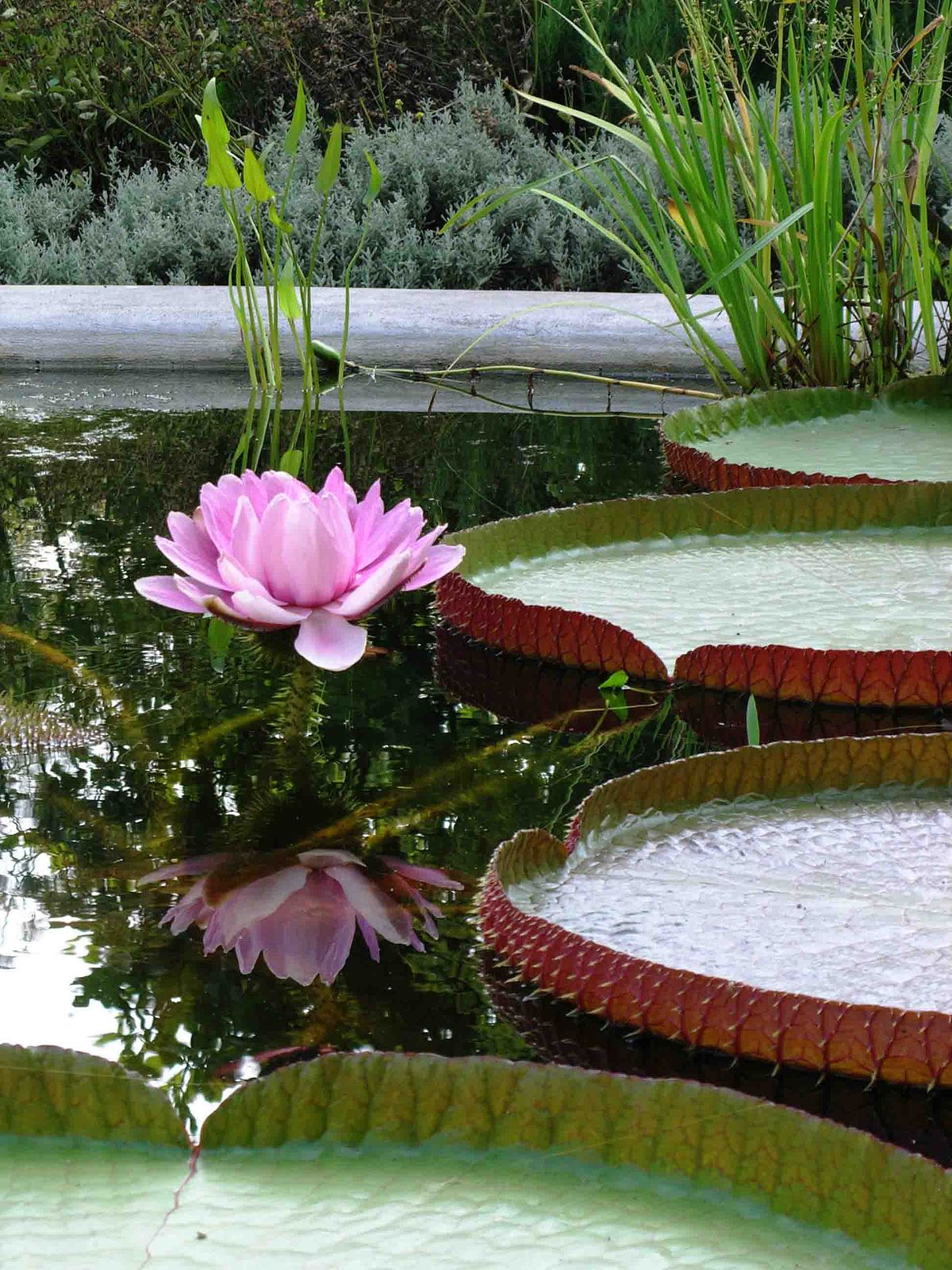 hight resolution of water lily diagram