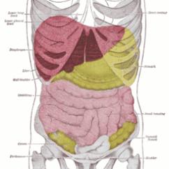 Where Is My Liver Located Diagram Vw Touran Wiring Traumatismo Abdominal - Wikipedia, La Enciclopedia Libre