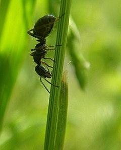 English: Harvester Ant This ant is most likely...