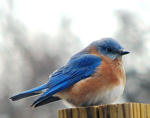 English: Eastern Bluebird on a cold December day.