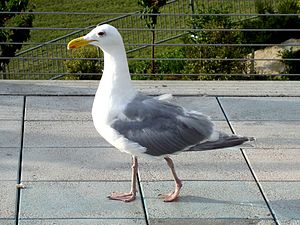 Glaucous-winged Gull Larus glaucescens picture...
