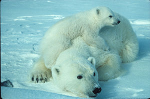 English: Polar Bear