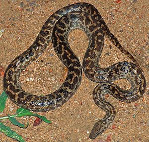 Spotted python (Antaresia maculosa). Taken at ...