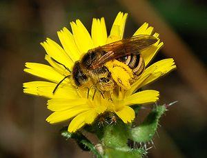 Bee of Halictus genus, possible Halictus scabiosae