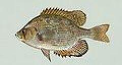 Centrarchus macropterus (1).jpg