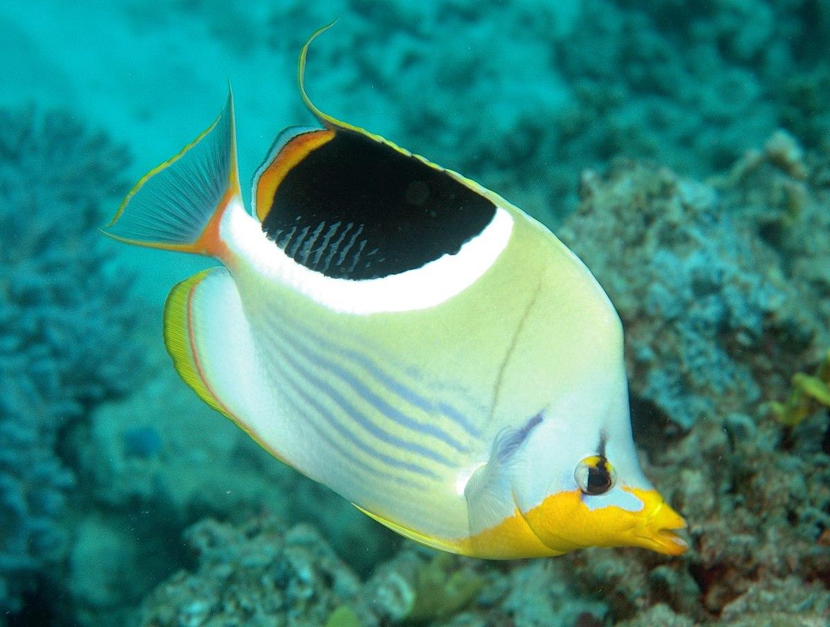 Saddle Butterflyfish Wikipedia