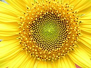 Sunflower head displaying florets in spirals of 34 and 55 around the outside