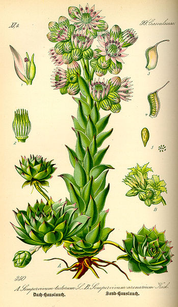File:Illustration Sempervivum tectorum0.jpg