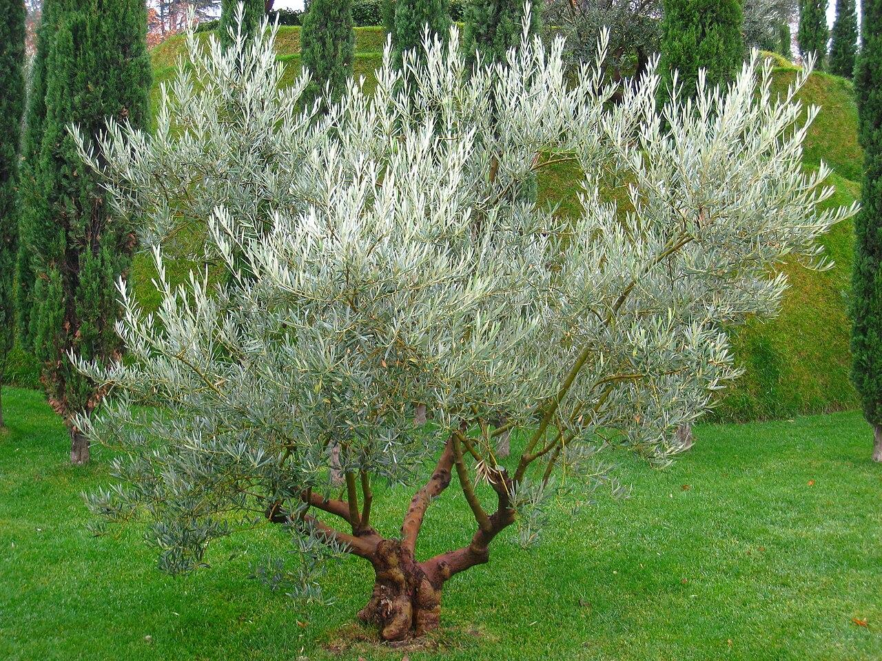 FileOlive tree at the Bosque de los Ausentes Parque del