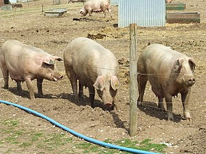 English: We three pigs Three pigs near to Narb...