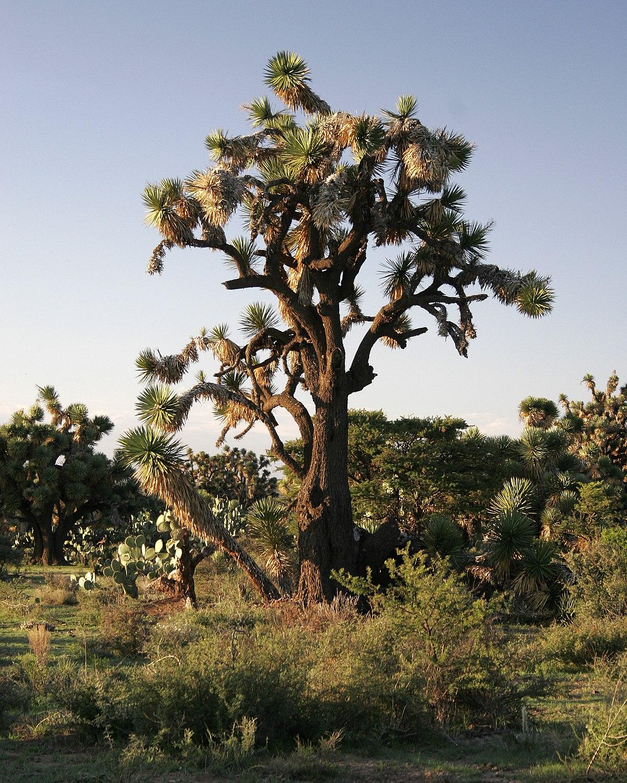 Yucca decipiens - Wikimedia Commons
