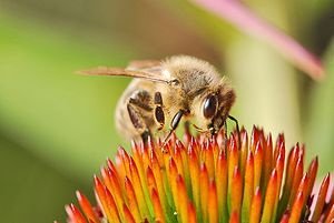 English: The European honey bee or western hon...