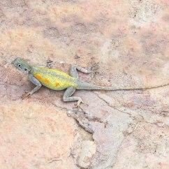 Labelled Diagram Of Agama Lizard Lika Encoder Wiring Impalearis Wikidata