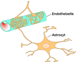 English: Schematic sketch showing endothelial-...