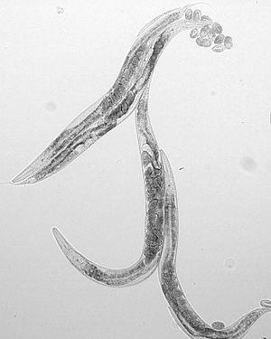 C elegans DIC s