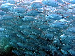 Fish Wallpaper Hd Bigeye Trevally Wikipedia