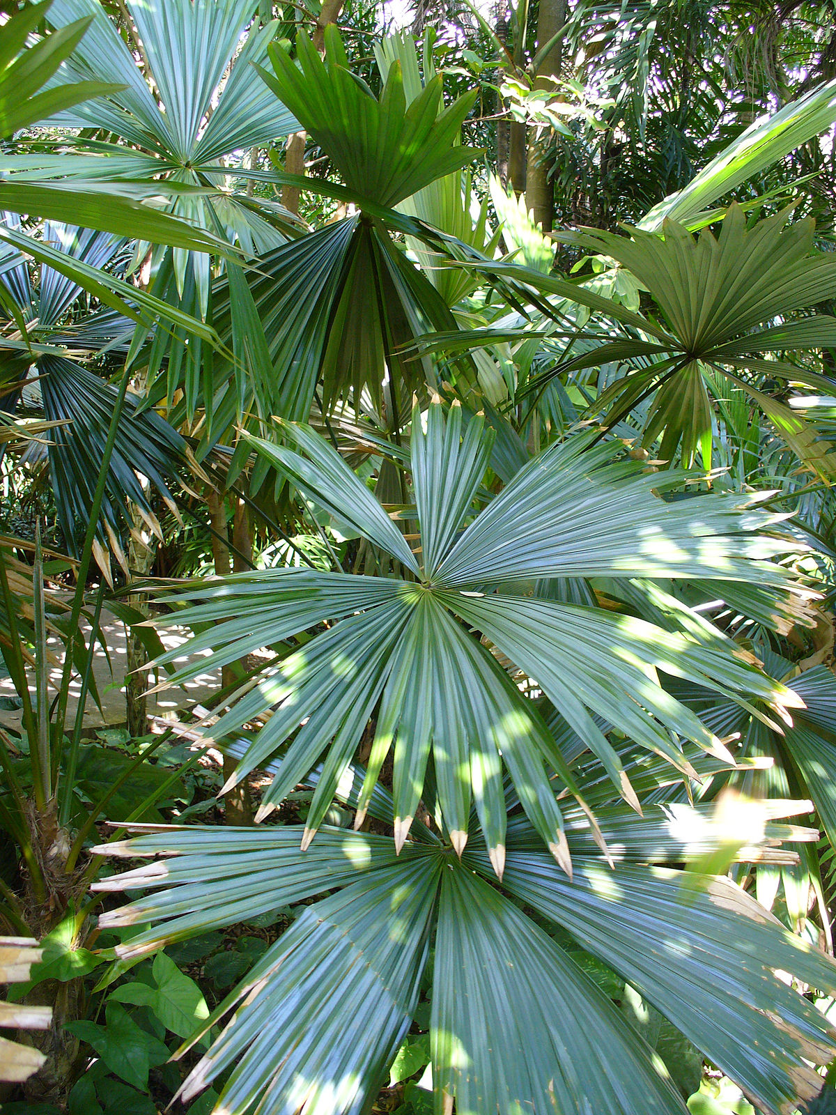 Chelyocarpus  Wikipedia
