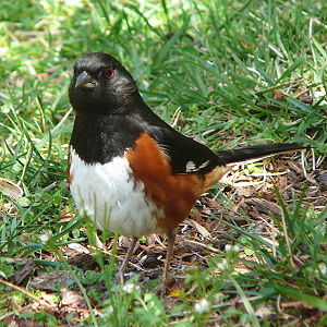 A male Eastern Towhee (Pipilo erythrophthalmus...