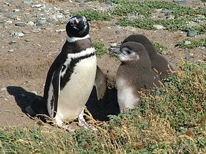 English: Magellanic Penguin (Spheniscus magell...