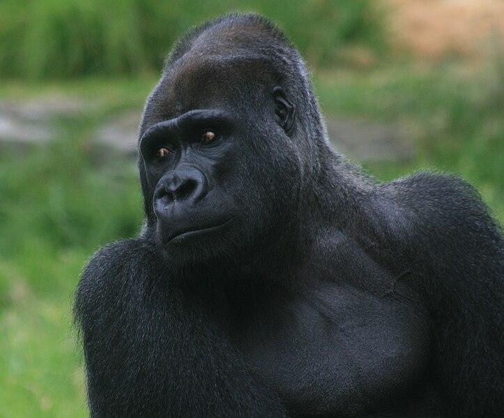File:Male silverback gorilla.jpg