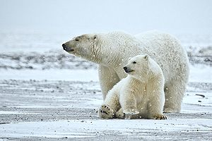 Polar Bear (Sow And Cub), Arctic National Wild...