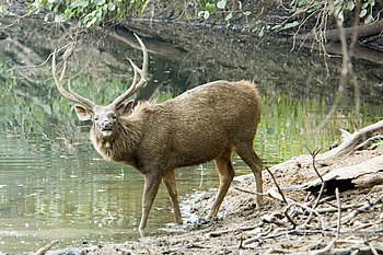 English: Sambar deer cropped picture
