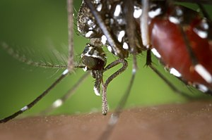 English: The proboscis of an Aedes albopictus ...