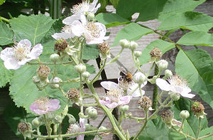 English: Bee pollinating Blackberry in an Engl...