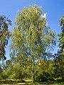 Betula pendula 001.jpg