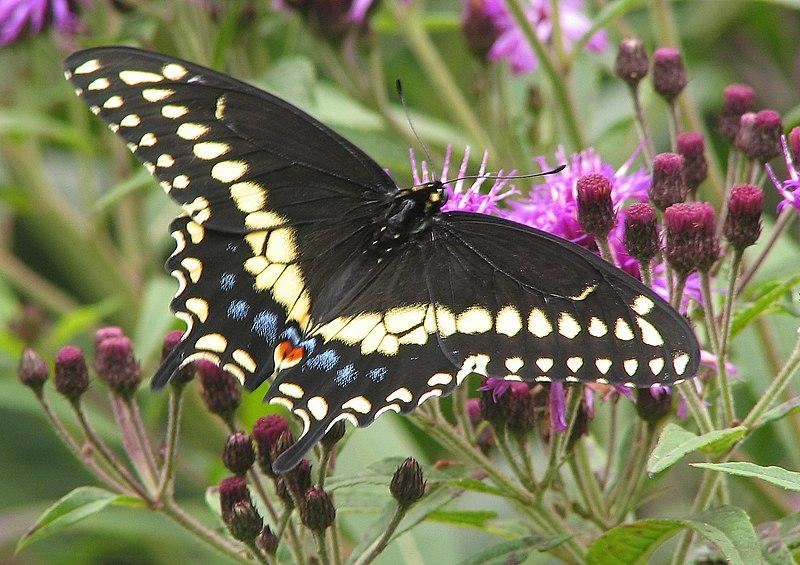 File:Black Swallowtail Papilio polyxenes 1700px.jpg