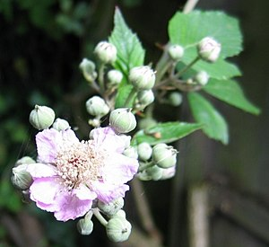 Blackberry-flower
